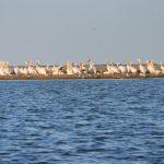Colonie de pelicani pe Insula păsărilor aproape de Gura de vărsare a Dunării în mare