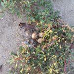 Insula păsărilor K -ouă de cormorani